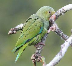 Cobalt-winged Parakeet(Brotogeris cyanoptera)