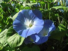 Trees To Plant, Plant Leaves, Blue Morning Glory, Summer Plants, Decoration, Flowers, Nature, Outdoor, Cascades