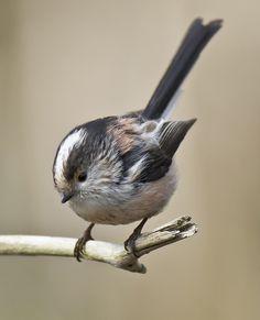 Long-tailed Tit 005 Pretty Birds, Love Birds, Beautiful Birds, Animals Beautiful, Cute Animals, World Birds, Bird Pictures, Birds Photos, British Wildlife