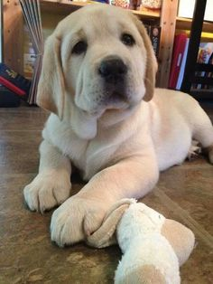 Sweet yellow Lab puppy