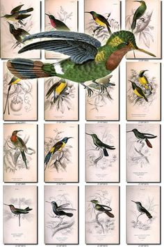 BIRDS-130 Collection of 54 Sunbirds Nectarinia Wood Snipe Bustard Houbara vintage pictures digital download printable 300 dpi animals           data-share-from=listing        >           <span class=etsy-icon