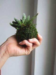 mini+závěsná+Kokedama+aloe+Kokedama+je+původem+z+Japonska,+ale+i+u+vás+doma+bude+vypadat+překrásně.+Jedná+se+o+moderní+trend+v+pěstování+interierových+rostlin.+Mechová+koule,+jak+zní+i+překlad+z+japonštiny,+je+jakousi+náhradou+za+květník.+Jen+je+oproti+květníku+o+moc+stylovější.+kokedama+je+opatřena+háčkem+pro+zavěšení. String Garden, Aloe, Herbs, Mini, Plants, Herb, Plant, Planets, Medicinal Plants