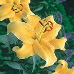 Golden Stargazer Lily