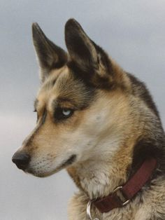 The SEPPALA SYBERIAN SLEDDOG is bred for intelligence ability and health. These dogs were not bred for appearance, so they do not have the classic markings. The working Husky is very intelligent and healthy, so they have less health problems than the show husky. The Seppala Husky is used all over the world for sledding and working.