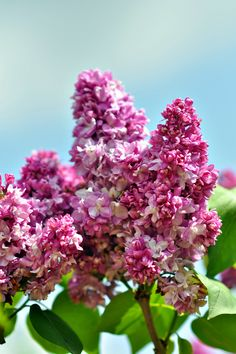 Beautiful Lilac x www.wisteria-avenue.co.uk