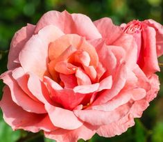 Queen Elizabeth Rose, Happy Birthday, Garden, Flowers, Plants, Instagram, Happy Brithday, Garten, Urari La Multi Ani