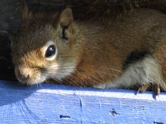 Teddy, the little Red Squirrel  South Londonderry Vermont  The Londonderry Inn