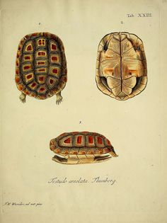 wapiti3:  Natural history of turtles: By Schopf, Johann David Keller, Johann Christoph, Nussbiegel, Johann, Volckart, Johann Friedrich Wunde...