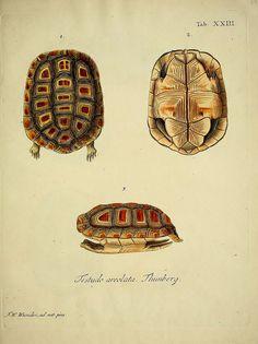 wapiti3:  Natural history of turtles: By Schopf, Johann David Keller, Johann Christoph, Nussbiegel, Johann, Volckart, Johann Friedrich Wunde...
