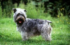 Glen of Imaal Terriers are a rare breed suitable to many types of homes. Learn all about Glen of Imaal Terriers, including grooming, training, health problems, history, adoption, finding a good breeder, and more.