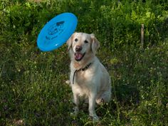 Many dogs love to play with Frisbees, although most dogs don't know how to catch a flying disc. With a little patience and the following steps, you and your pet can learn to do this fun and rewarding activity. •Note: this article assumes your dog already knows how to fetch a ball or similar object. If not, start with Teach Your Dog to Fetch. It also assumes that you know how to throw a disc. If not, start with Throw a Frisbee Backhand and Forehand.