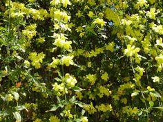 jasminum humile, Italian jasmine grows in yellow or white