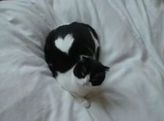 ねこ  -  I had a bicolor opposite of this kitty. She was mostly white with a black heart.