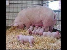 Cria de Cerdos - Granja Porcicola - TvAgro por Juan Gonzalo Angel - YouTube