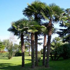 Chinese Windmill Palm Trachycarpus fortunei  East side of Home
