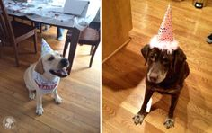 #Labrador Birthdays Are the Best | It's a Lab Thing