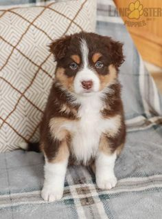 #AustralianShepherd #Charming #PinterestPuppies #PuppiesOfPinterest #Puppy #Puppies #Pups #Pup #Funloving #Sweet #PuppyLove #Cute #Cuddly #Adorable #ForTheLoveOfADog #MansBestFriend #Animals #Dog #Pet #Pets #ChildrenFriendly #PuppyandChildren #ChildandPuppy #LancasterPuppies www.LancasterPuppies.com Animals Dog, Cute Animals, I Love Dogs, Puppy Love, Australian Shepherd Puppies, Lancaster Puppies, Family Dogs, Puppies For Sale, Mans Best Friend