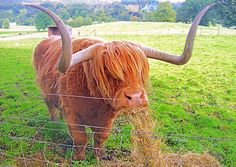 Highland Cow - Collette