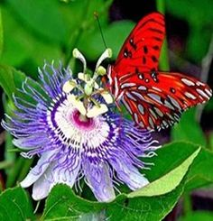 Exotic Flowers: Passion flowers-Maypop | Exotic Flowers