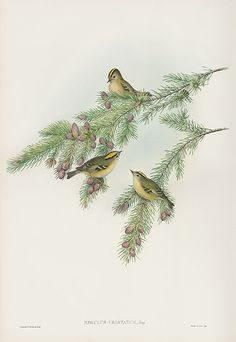 Regulus Cristatus - Golden-crested Wren or Kinglet from John Gould Lithographs of Swallows, Swifts, Kingfisher, Goldfinch, Robin & Roller John Gould, John James Audubon, Nature Artists, Goldfinch, Canario, Kingfisher, Craft Patterns, Bird Prints, Wren