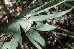 saw palmetto (Serenoa repens) is a non-timber forest product (NTFPs) grown in forests for its medicinal uses.  #medicinal #sawpalmetto #NTFPs #agroforestry #forestfarming  Photo: John Haworth        For more forest farming resources & info: www.eXtension.org/forest_farming