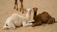 camellos tiernos