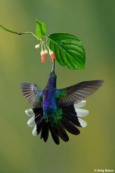 Hummingbird, amazing little birds Pretty Birds, Love Birds, Beautiful Birds, Animals Beautiful, Cute Animals, Pretty Flowers, Funny Animals, Beautiful Pictures, Exotic Birds