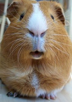 theres nothing better than a really cute guinea pig...