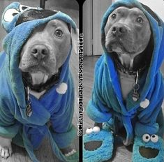 Pitbull and cookie monster 😍❤ Cute Puppies, Cute Dogs, Dogs And Puppies, Doggies, Pit Bull Puppies, Baby Dogs, Baby Animals, Funny Animals, Cute Animals