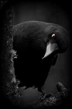Super Ideas For Raven Bird Photography Art Crow Art, Bird Art, Dark Photography, Animal Photography, Choucas Des Tours, Rabe Tattoo, Photo Animaliere, Raven Bird, Gothic Aesthetic