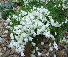 Campanula- will grow under pine trees! Moon Garden, Dream Garden, Back Gardens, Outdoor Gardens, Fairy Gardens, Shade Garden, Garden Plants, Herb Garden, Ground Cover Plants
