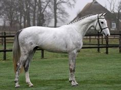 Image result for what is a kwpn dutch warmblood