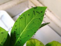 Want To Know How To Control Fungus Gnats On House Plants? In Our Weapons of Gnat Destruction Article We Will Show You The Ultimate Guide to Killing Fungus Gnats. Plant Bugs, Plant Pests, Gnats In House Plants, How To Get Rid Of Gnats, Inside Plants, Fruit Flies, Small Greenhouse, Garden Shrubs, Garden Pests