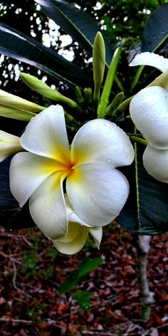 White Plumeria Plants(Frangipani. Plumeria are some of most exotic and beautiful plants and easy to grow..