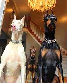 The Doberman Pinscher is among the most popular breed of dogs in the world. Known for its intelligence and loyalty, the Pinscher is both a police- favorite Beautiful Dogs, Animals Beautiful, Cute Animals, Scary Dogs, Funny Dogs, Cute Dogs And Puppies, Little Puppies, Doggies, Adorable Puppies
