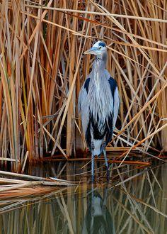 The Ever-So-Elegant Great Blue Heron