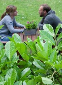 kirschlorbeer hecke pflanzen und deko f r unseren garten pinterest. Black Bedroom Furniture Sets. Home Design Ideas