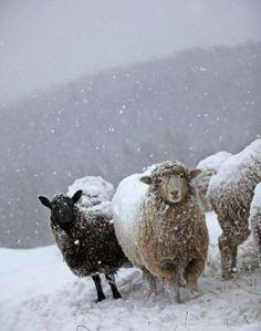 farm animals in snow | ... on the Farm: Snow Love Kristin Nicholas's snow and sheep photos