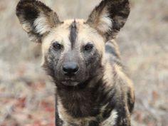 African wild dog. #WildDog #LionWorldTales #Africa #Safari #Travel #Animals