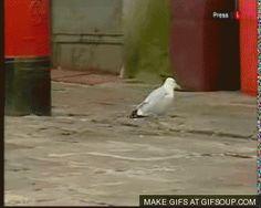 funny seagull gifs - Pesquisa Google