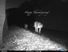 Happy Thanksgiving and Happy Holidays from Felidae Conservation Fund!