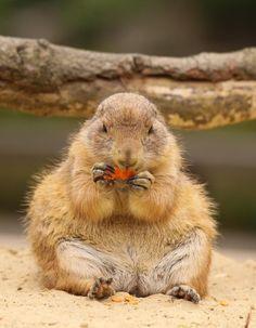 Prairie Dog. Cutie Patootie!!! <3 ;-) ;-)