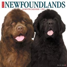 Newfoundlands are huge, imposing, bighearted creatures adored by their owners. Twelve delightful full-color photographs typify their size, goodnature and easy going manner. The large format wall calen