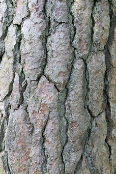 scots pine bark - Google Search