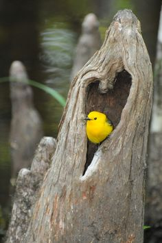 """Prothronotary Warbler in a heart shaped opening in a cypress """"knee"""" at Audubon's Francis Beidler Forest"""