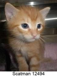 Scatman 12494 is an adoptable Domestic Short Hair Cat in Middleburg, FL.  ...