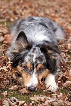 My Aussie Phoebe has this look perfected...Australian shepherd // dog // fall