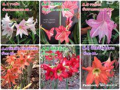 ขายค่ะ สนใจสอบถามเข้ามาได้ที่ Line ID : Longsuttirak หรือ Facebook : ไม้หัวดอกสวย #ไม้หัวดอกสวย