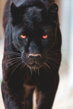 Up close and personal with a black jaguar Animals And Pets, Baby Animals, Cute Animals, Wild Animals, Beautiful Cats, Animals Beautiful, Big Cats, Cats And Kittens, Majestic Animals
