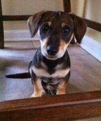 Lucky is an adoptable Dachshund Dog in Olive Branch, MS. Lucky was given to a young woman who stopped in the middle of the street where a young boy was playing with him. It just so happens that the mo...